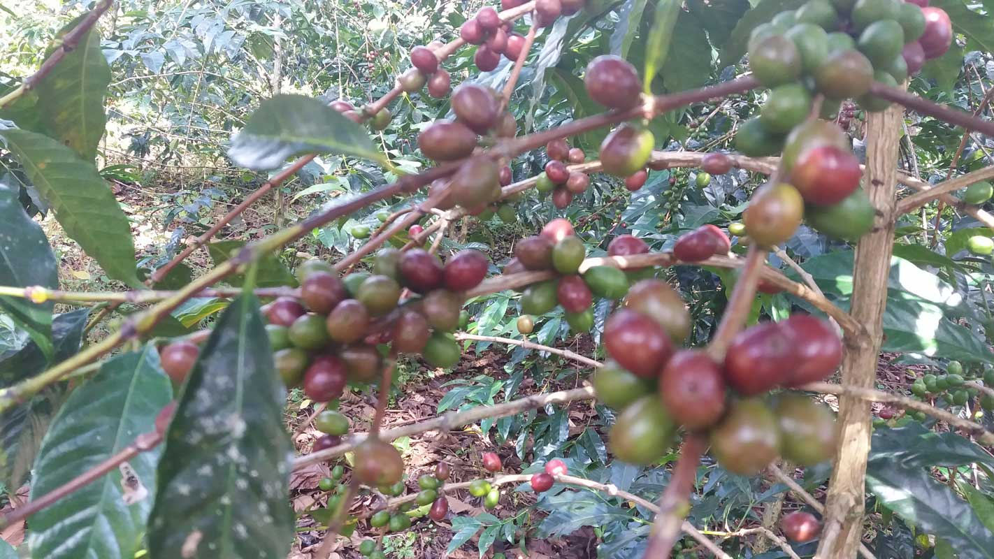 Dawi Coffee and Agro Industry